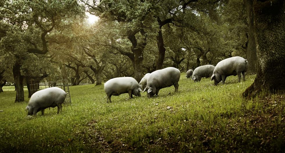 Cerdo buscando bellotas 1