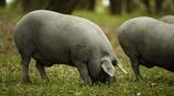 Cerdo buscando bellotas 3